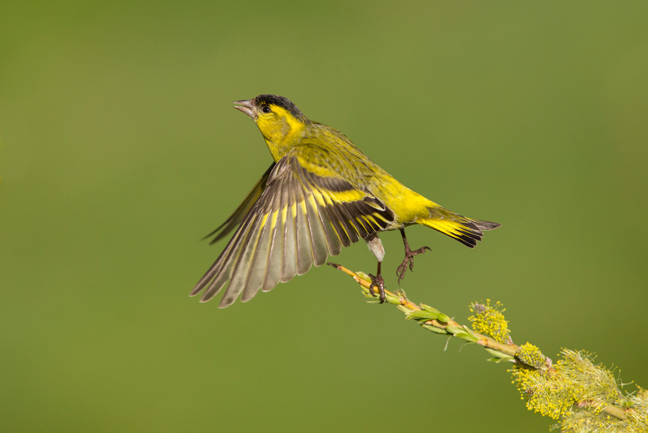 Siskin (Carduelis spinus) male taking flight from perch
