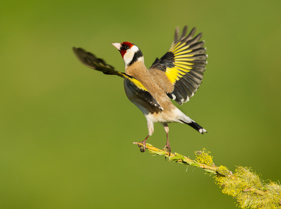 Goldfinch (Carduelis carduelis) adult taking off from perch