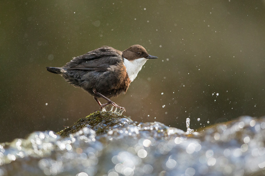 Dipper (Cinclus cinclus) perched on rock in river