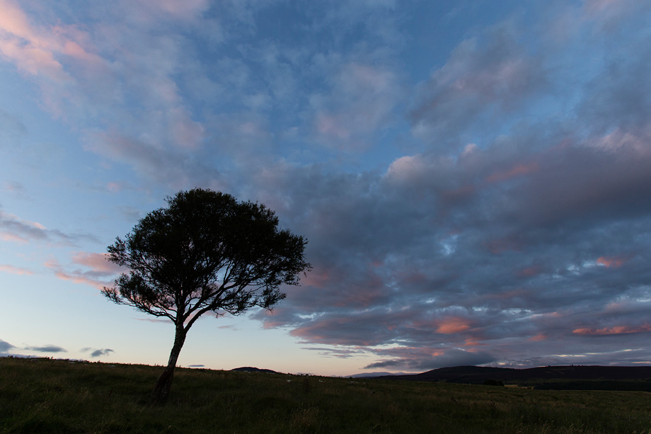 Birch tree (Betula pendula) silhouetted at dusk, Cairngorms National Park, Scotland