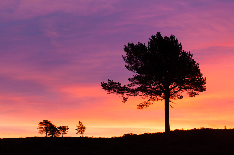 Scot's Pine (Pinus sylvestris) silhouetted at dawn, Cairngorms National Park, Scotland