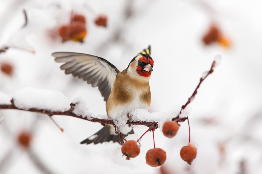 Goldfinch (Caeduelisa carduelis) landing on perch in snow