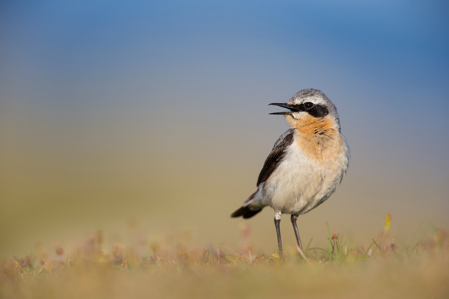 Wheatear (Oenanthe oenanthe) adult male in breeding plumage, calling