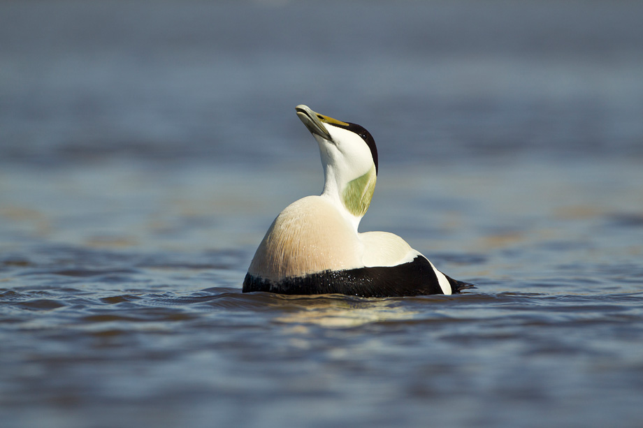 Eider (Somateria mollissima) adult male in spring plumage displaying as part of breeding courtship