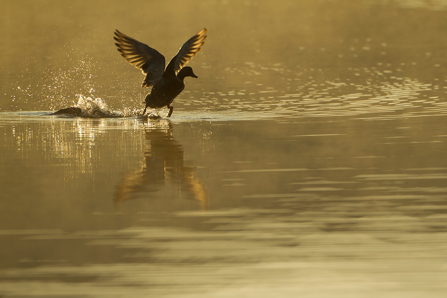 Mallard (Anas platyrhynchos) taking off across water at sunrise, Scotland, UK