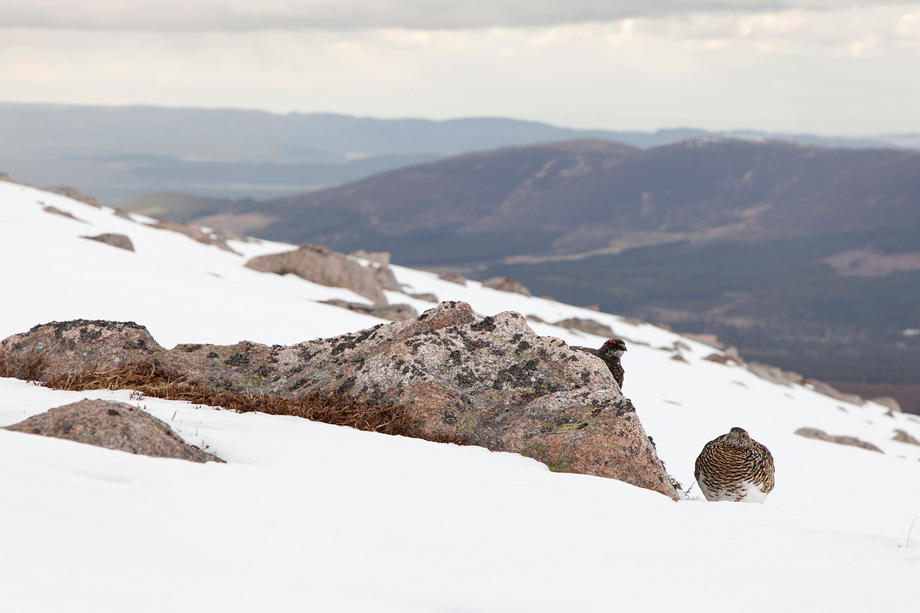 Ptarmigan (Lagopus mutus) female and male in spring plumage in mountain habitat, Cairngorms National Park, Scotland, UK