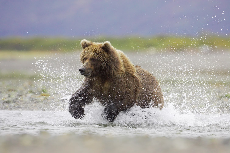 Grizzly Bear (Ursus horribilis) adult female hunting salmon - running through tidal creek, Katmai National Park, Alaska, September
