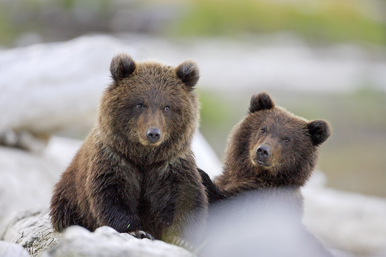 Grizzly Bear (Ursus horribilis) young (1st year) cubs resting on driftwood on beach.  Katmai National Park, Alaska, USA.