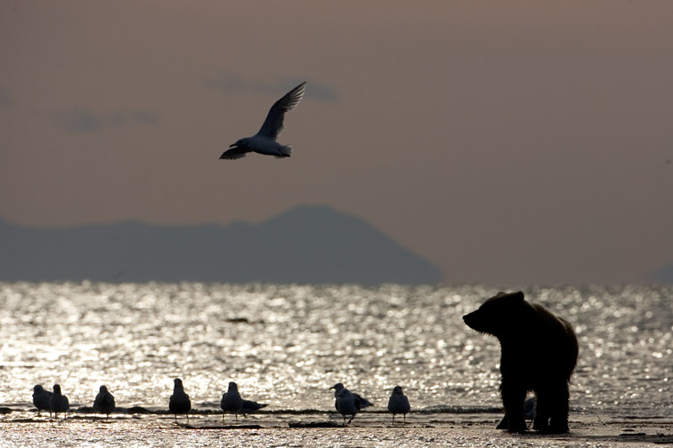 Grizzly Bear (Ursus arctos) and gulls silhouetted at water's edge. Katmai National Park, Alaska.