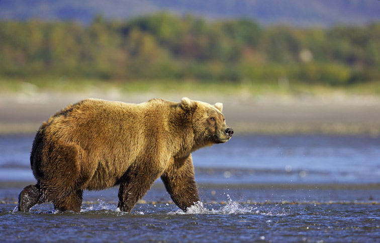 Grizzly Bear (Ursus horribilis), walking through tidal creek, Katmai National Park, Alaska, September