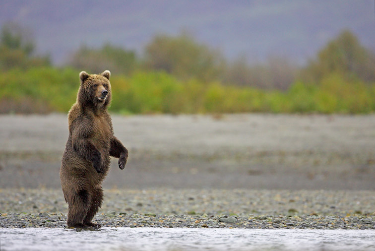 Grizzly Bear (Ursus horribilis), stood upright on back legs,Katmai National Park, Alaska, September