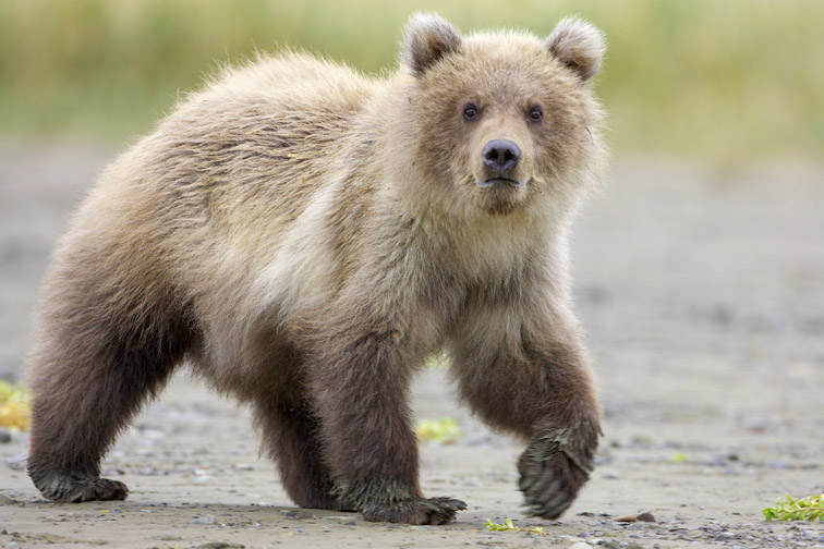Grizzly Bear (Ursus horribilis), young cub walking, Katmai National Park, Alaska, September