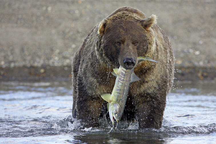 Grizzly Bear (Ursus horribilis), adult male with freshly-caught salmon, Katmai National Park, Alaska, September