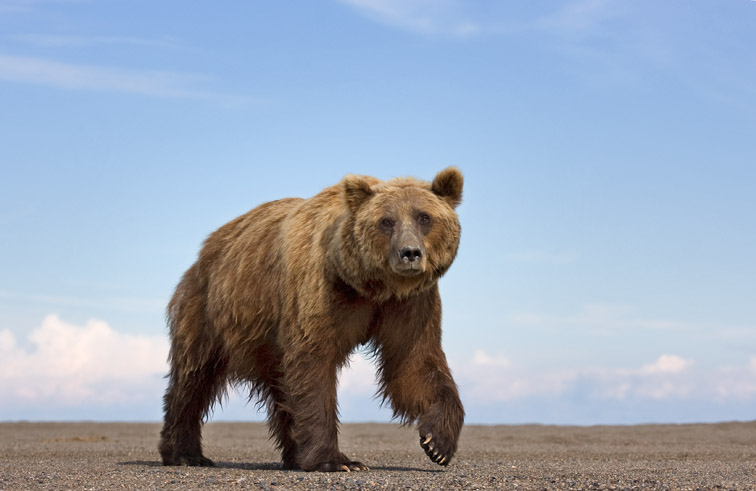 Brown bear (Ursus horribilis) August 2008.