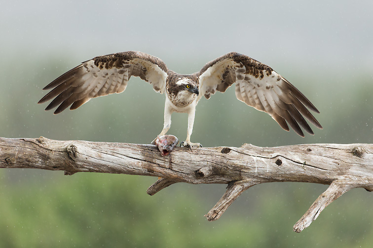 Osprey (Pandion haliaetus) adult male with fish, perched with wings raised