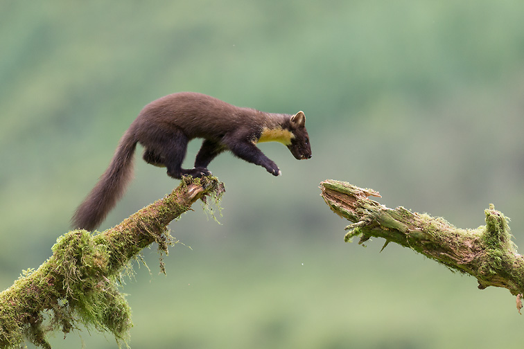 Pine Marten (Martes martes) leaping between mossy logs (2 of 3 in sequence)
