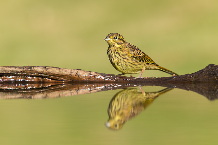 Yellowhammer (Emberiza citrinella) juvenile drinking at garden pond
