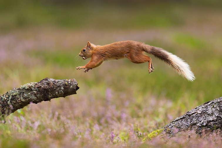 Red Squirrel (Sciurus vulgaris) in summer coat jumping between fallen logs with nut in mouth.