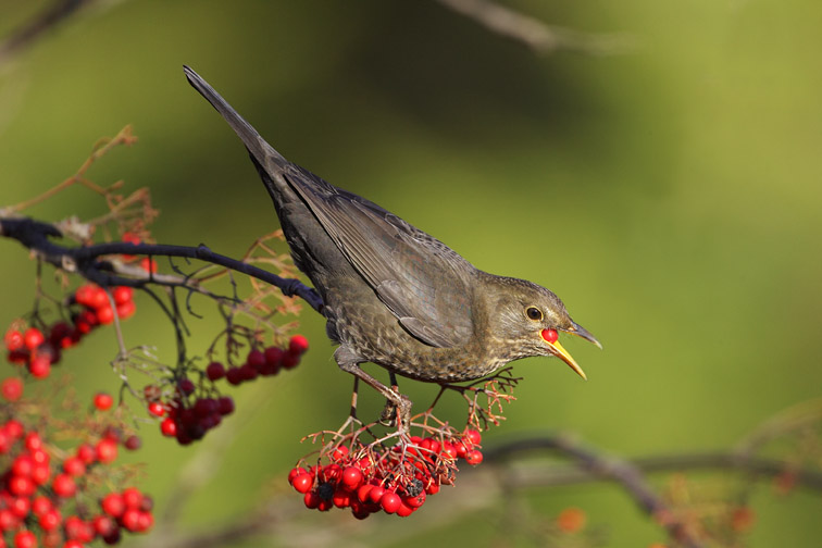 Blackbird - Turdus merula - female feeding on rowan berries. Scotland. November 2006.