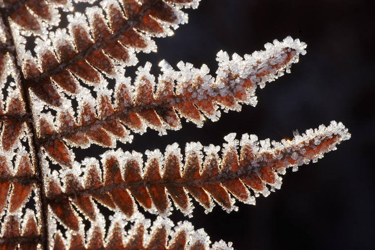 Bracken (Pteridium aquilinum) frond coated in hoar frost in late autumn. Scotland, UK.