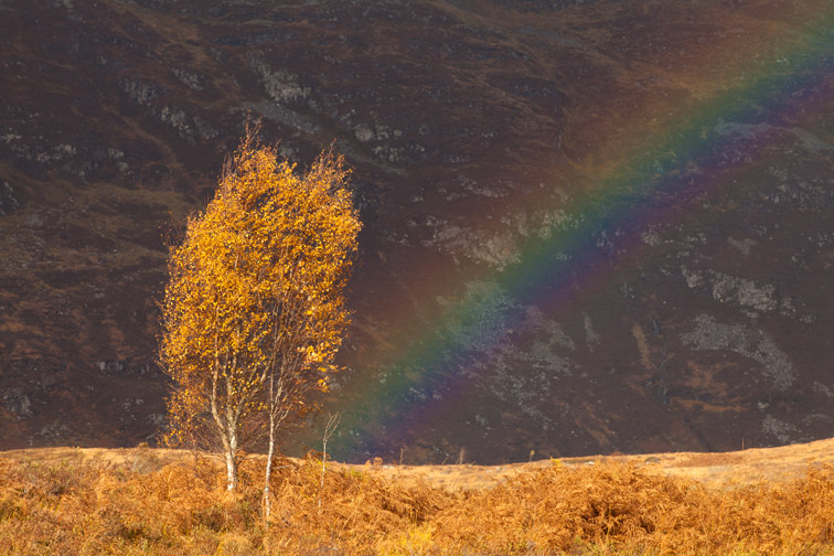 Silver birch (Betula pendula) and rainbow in autumn,  Creag Meagaidh NNR, Scotland, UK