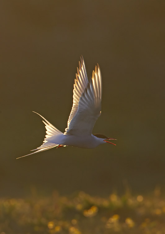 Arctic Tern (Sterna paradisaea) adult in flight in late evening light. Iceland.