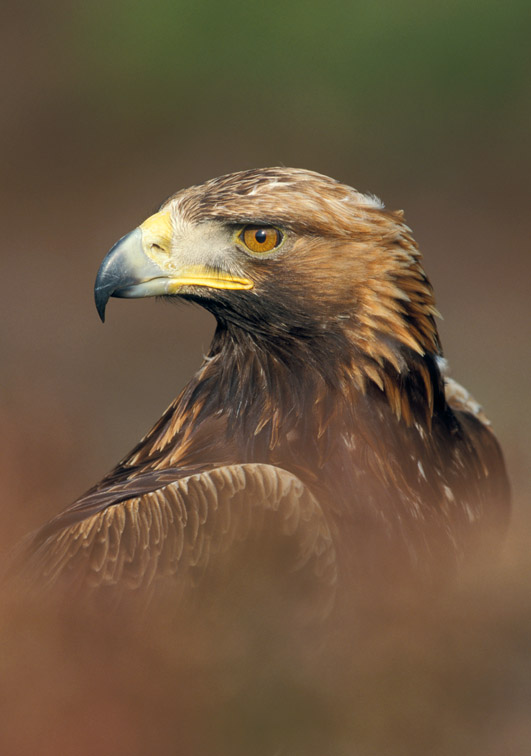 Golden Eagle (Aquila chrysaetos) close-up portrait of adult. Scotland.