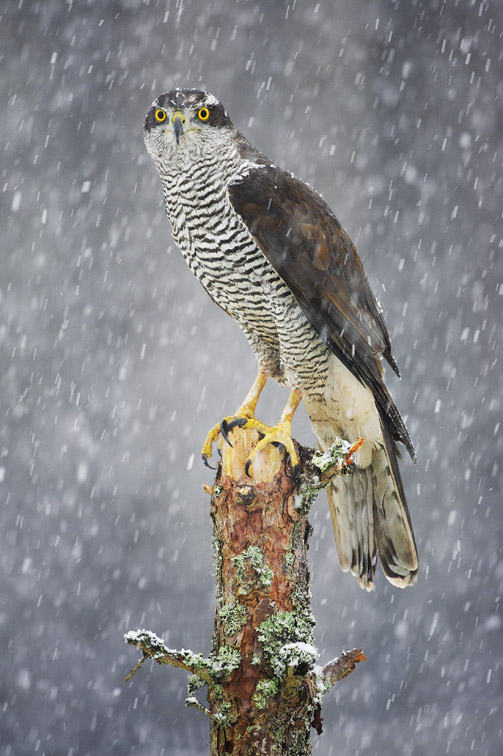 Goshawk (Accipiter gentilis) perched on pine stump in falling snow. Scotland. (captive-bred bird).