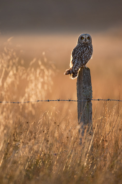 Short-eared owl Asio flammeus perched on old post in late evening light. Scotland. October 2009.
