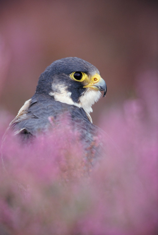 Peregrine Falcon - Falco peregrinus - portrait of adult amongst flowering heather. Scotland. August. (captive-bred)