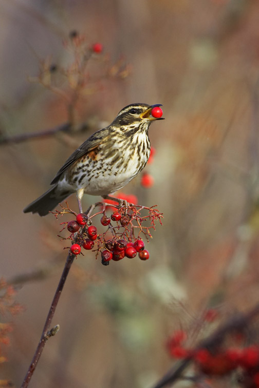 Redwing - Turdus iliacus - adult feeding on rowan berry. Scotland. November 2006.
