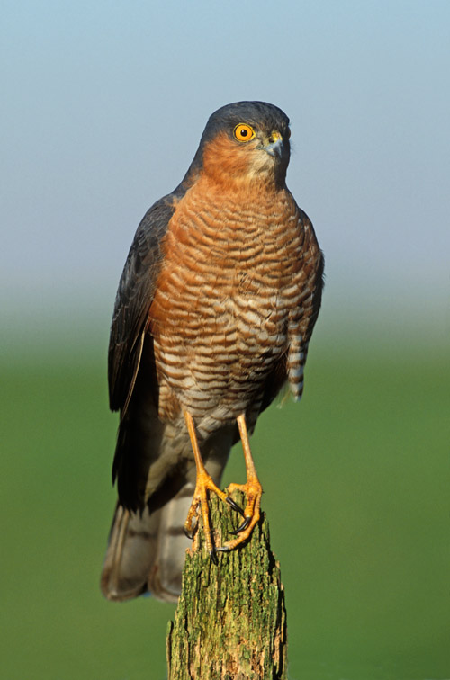 Sparrowhawk (Accipiter nisus) adult male perched on post. UK.
