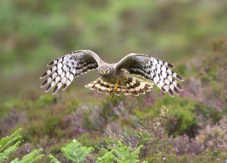 Hen Harrier - Circus cyaneus - female in flight approaching nest site with prey. Sutherland. North-east Scotland. July 2006.