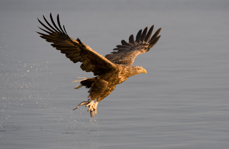 White-tailed eagle Haliaeetus albicilla adult in flight carrying fish. Norway. August 2009.