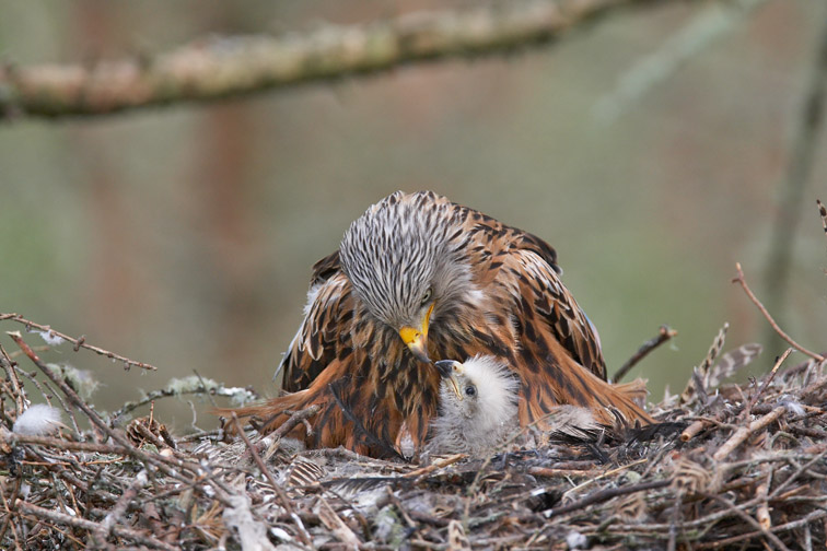 Red kite  Milvus milvus  adult female feeding young chick at nest site. Black isle, Scotland. May 2008