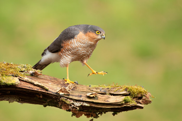 Sparrowhawk (Accipiter nisus) adult male perched on plucking post in woodland, Scotland, March