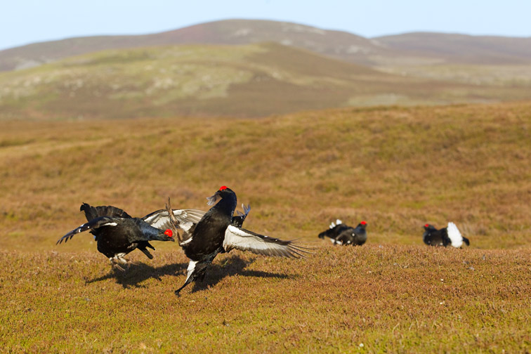 Black grouse Tetrao tetrix, male lekking on moorland, Scotland, May