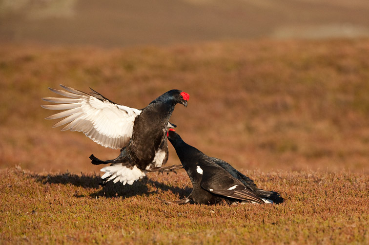 Black grouse Tetrao tetrix, two males fightingat lek, Scotland, April