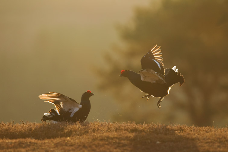 Black grouse Tetrao tetrix, two males leking, Scotland, April