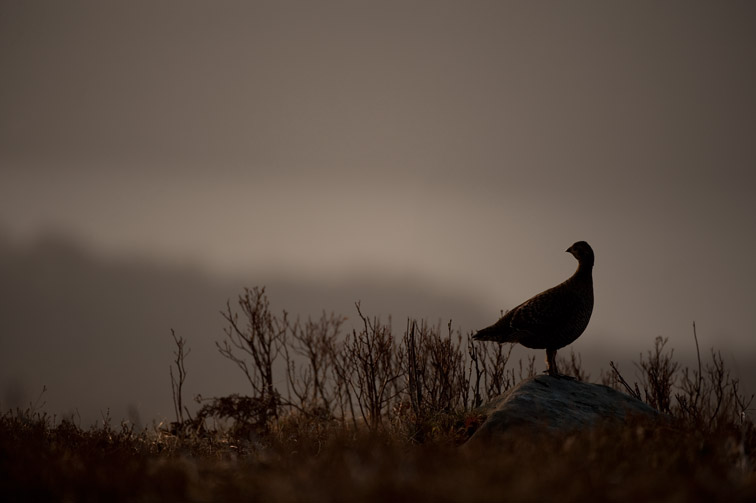 Black grouse Tetrao tetrix, female silhouetted on rock near lek at dawn, Creag Megaidh NNR; Scotland, April