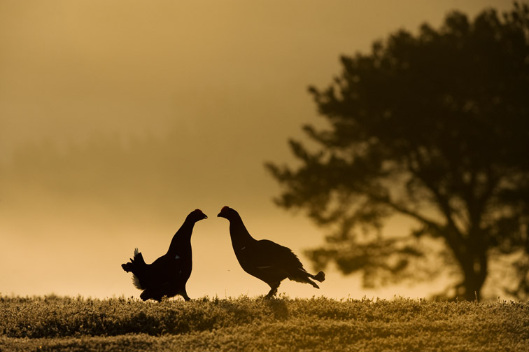 Black grouse Tetrao tetrix, two males fighting at dawn, Scotland, April