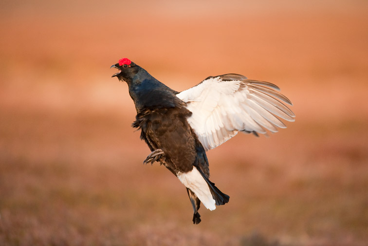 Black grouse Tetrao tetrix, male performing flutter jump at lek, Scotland, April