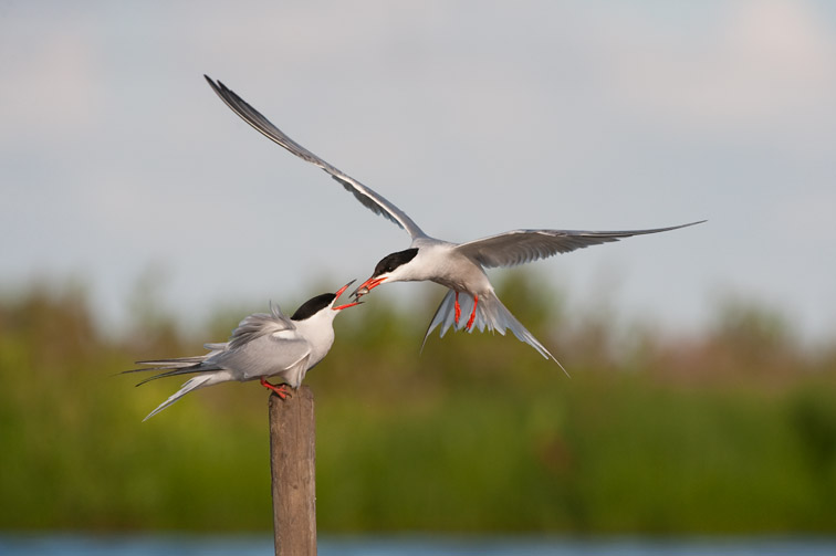 Common tern (Sterna hirundo) male passing fish to female as part of courtship. UK. June 2009.