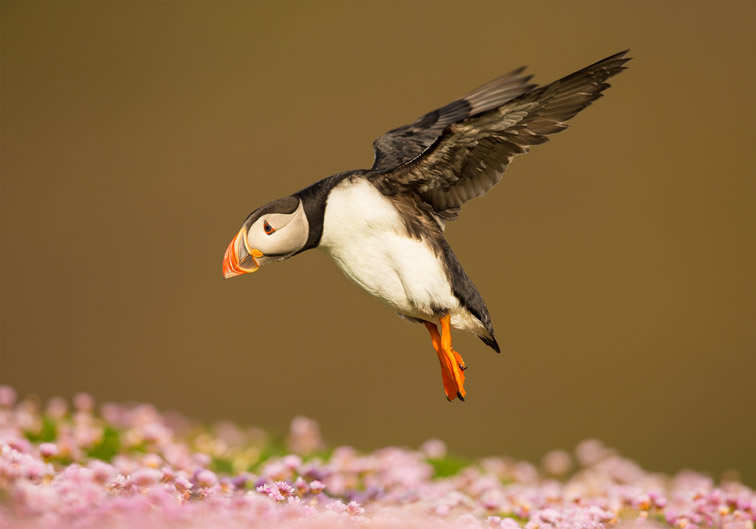 Atlantic puffin (Fratercula arctica) in flight. Fair Isle, Shetland, UK, July 2013