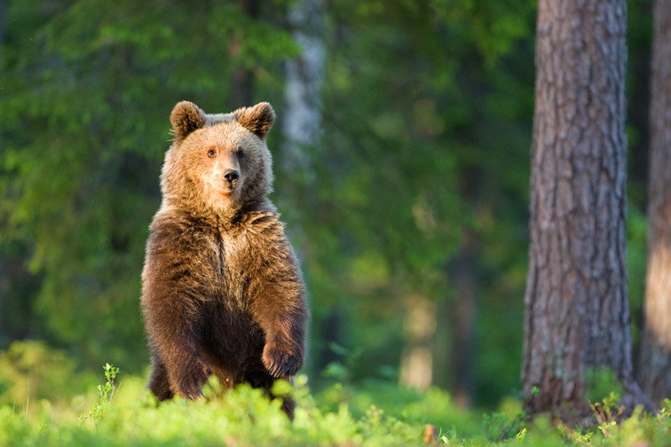 Brown bear youngster in forest. Finland.