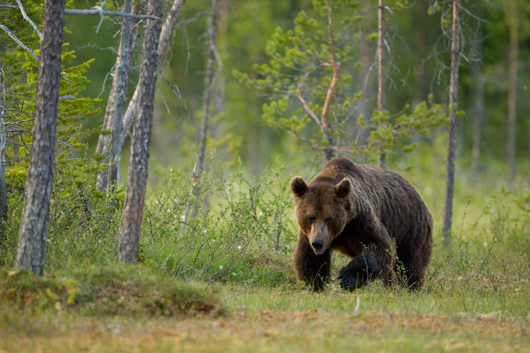 European brown bear in taiga forest. Finland. July.