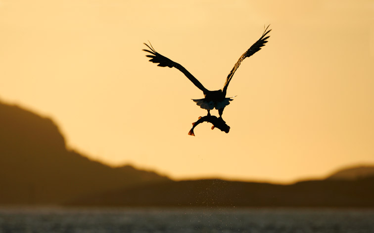 White-tailed Eagle (Haliaeetus albicilla) silhouetted in flight at sunset, carrying fish. Norway.