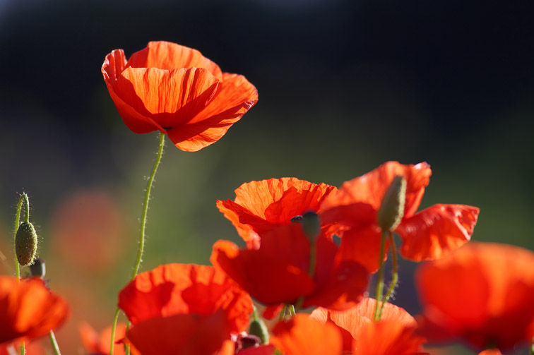 Common Poppy (Papaver rhoeas) - red petals backlit in early morning light. Scotland