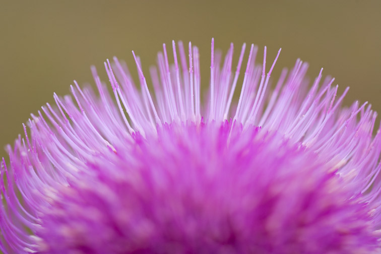 Melancholy Thistle (Cirsium helenioides) close-up detail of part of flower head. Scotland.