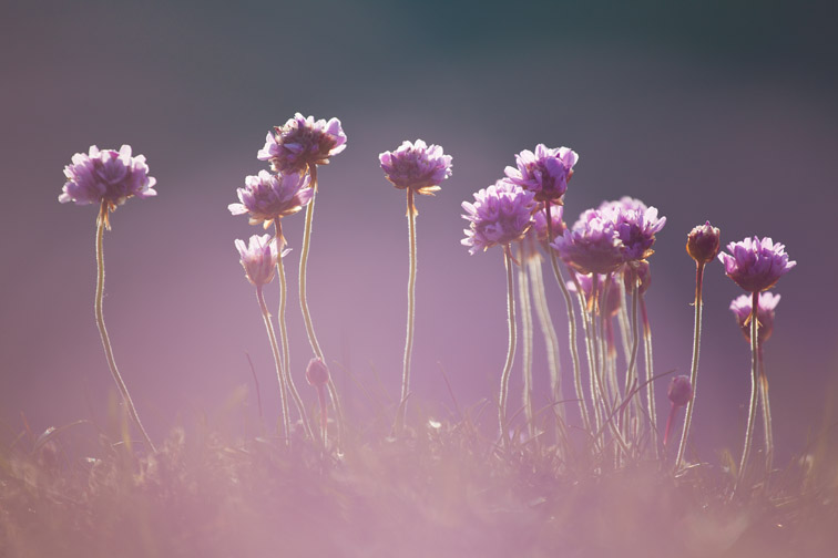 Thrift or sea pink (Armeria maritima) in bloom, Pembrookshire Coast, Wales, UK